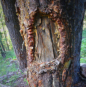 Classic blaze. This blaze appears to have been cut from three to ten years ago on a ten inch diameter spruce tree in the Big Horn National Forest in Wyoming.  (Photo: Saunier)