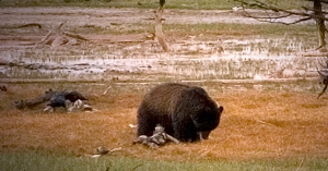 Yellowstone Grizzly (Richard E. Saunier)