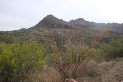 Ocotillo plant in bloom. (Tumacácori Mountains of Southern Arizona)