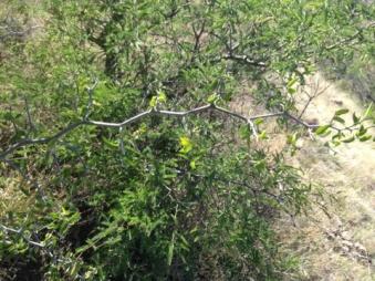 Chiltepin branch
